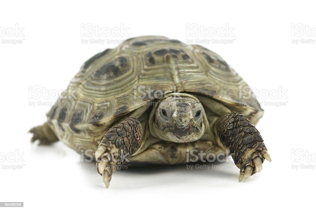 tortoise royalty-free stock photo