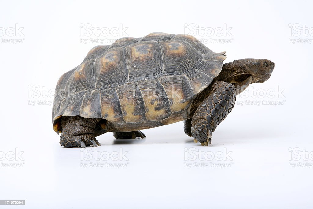 Tortoise preparing to race. stock photo