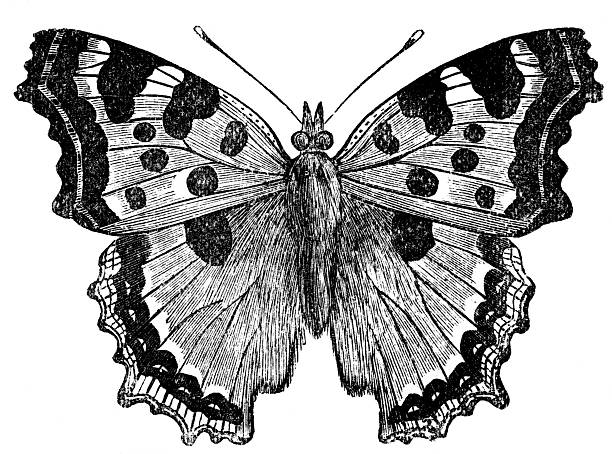 tortoise shell butterfly - etching stock pictures, royalty-free photos & images