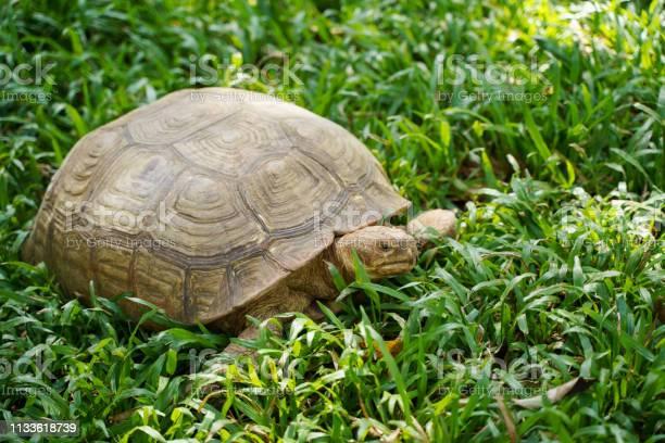 Tortoise turtle animal with shell on green grass picture id1133618739?b=1&k=6&m=1133618739&s=612x612&h=2h22 1ui0zdv0iv6itxmvsmeooknwkt76aqqk8kvoqg=