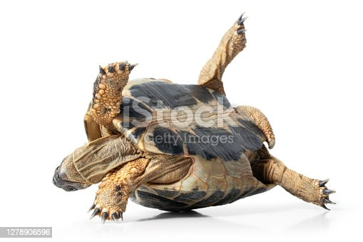Turtle upside down isolated on a white background.