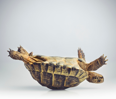 Portrait of a greek tortoise (testudo graeca) having problems in upside down position.