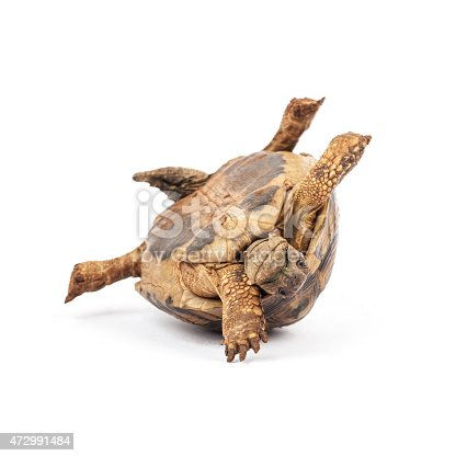 Tortoise upside down in trouble, on the white background. Trouble concept.