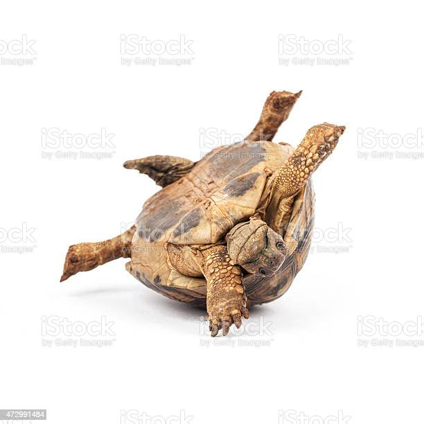 Tortoise upside down picture id472991484?b=1&k=6&m=472991484&s=612x612&h=e2wa0mxrvgkkvkoqdz4kol3ek mvbuxiur9rhdltcg0=