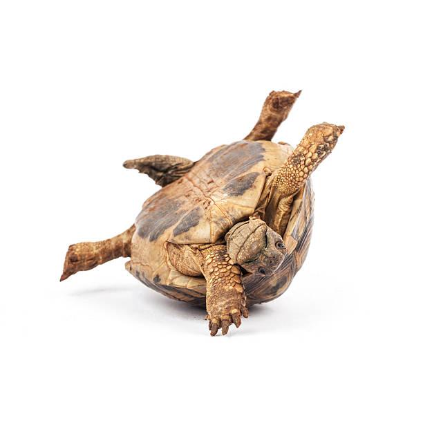 Tortoise upside down stock photo