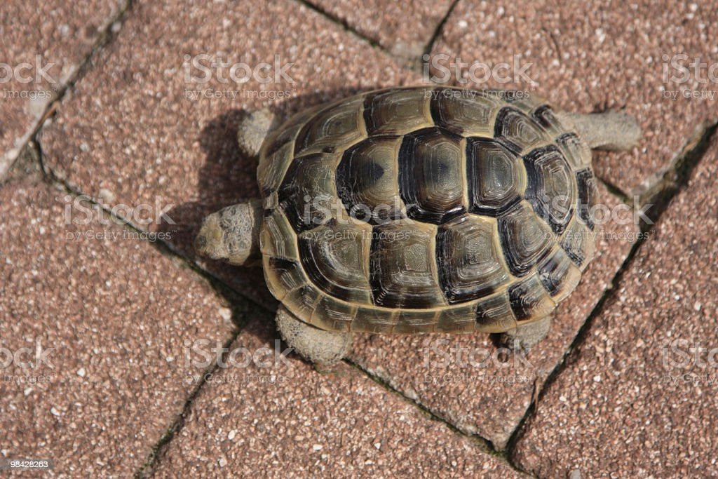 Tortoise  walking in the garden royalty-free stock photo