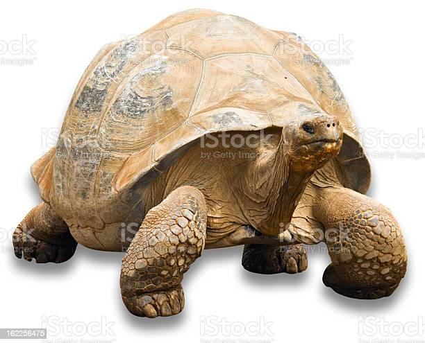 Tortoise with clipping path on white background picture id162256475?b=1&k=6&m=162256475&s=612x612&h=uaho7itwfhptt a8zfg0q8afpqe3go 4o4mnyaqy500=