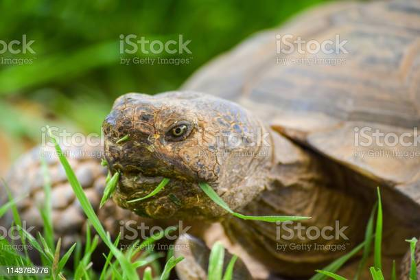 Tortoise with grass on his mouth picture id1143765776?b=1&k=6&m=1143765776&s=612x612&h=jtzbzvhyitvtn6wfshdb7mxu 29mts lnq876rl0a94=