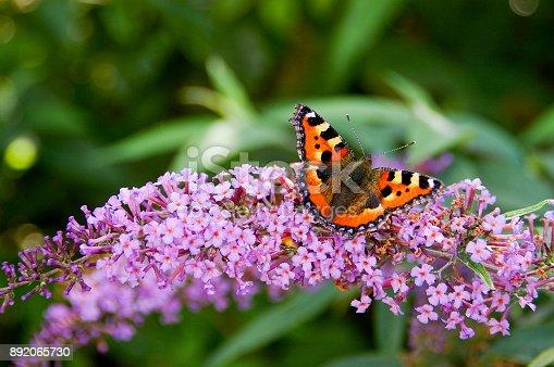istock Tortoisehell Butterfly 892065730