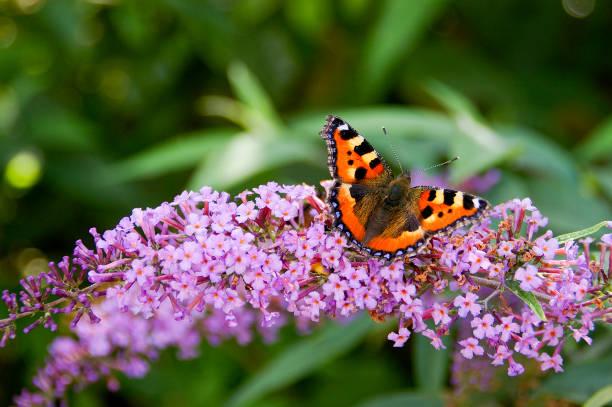 Tortoisehell butterfly picture id892065730?b=1&k=6&m=892065730&s=612x612&w=0&h=r1pjix11y6piqxvig7xn5wvgkglrc98rhejtmiiysy0=