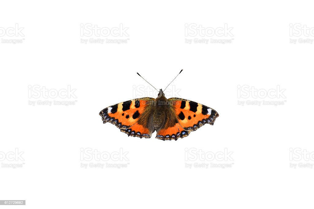 Tortoise-shell butterfly, Aglais urticae: isolated stock photo