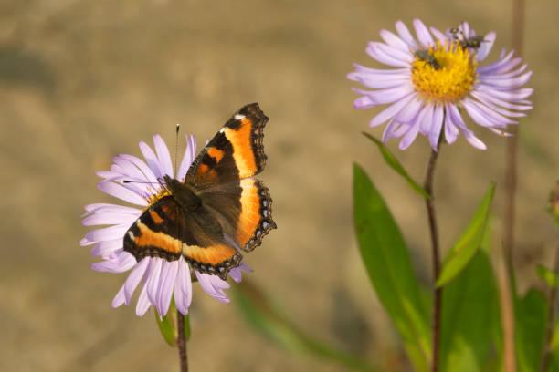 Millbert's tortoiseshell butterflies enjoyed the nectar of light blue aster flowers along the trail in Jasper National Park.