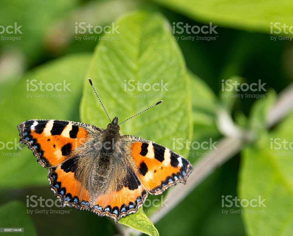 Tortoiseshell butterfly resting on a leaf stock photo