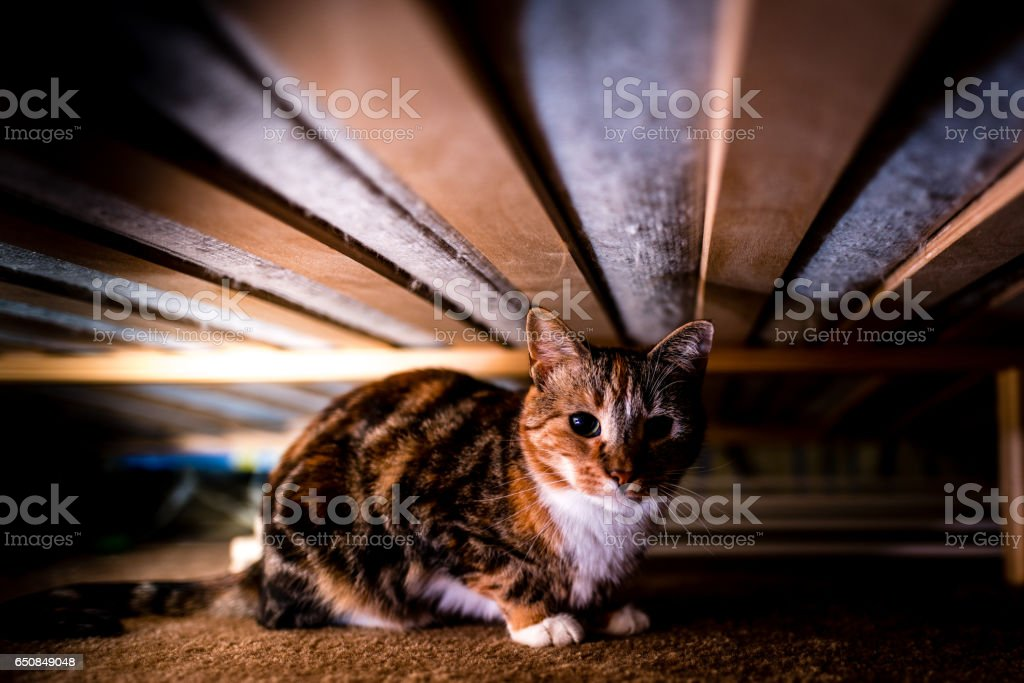 A tortoiseshell cat hides under a bed stock photo