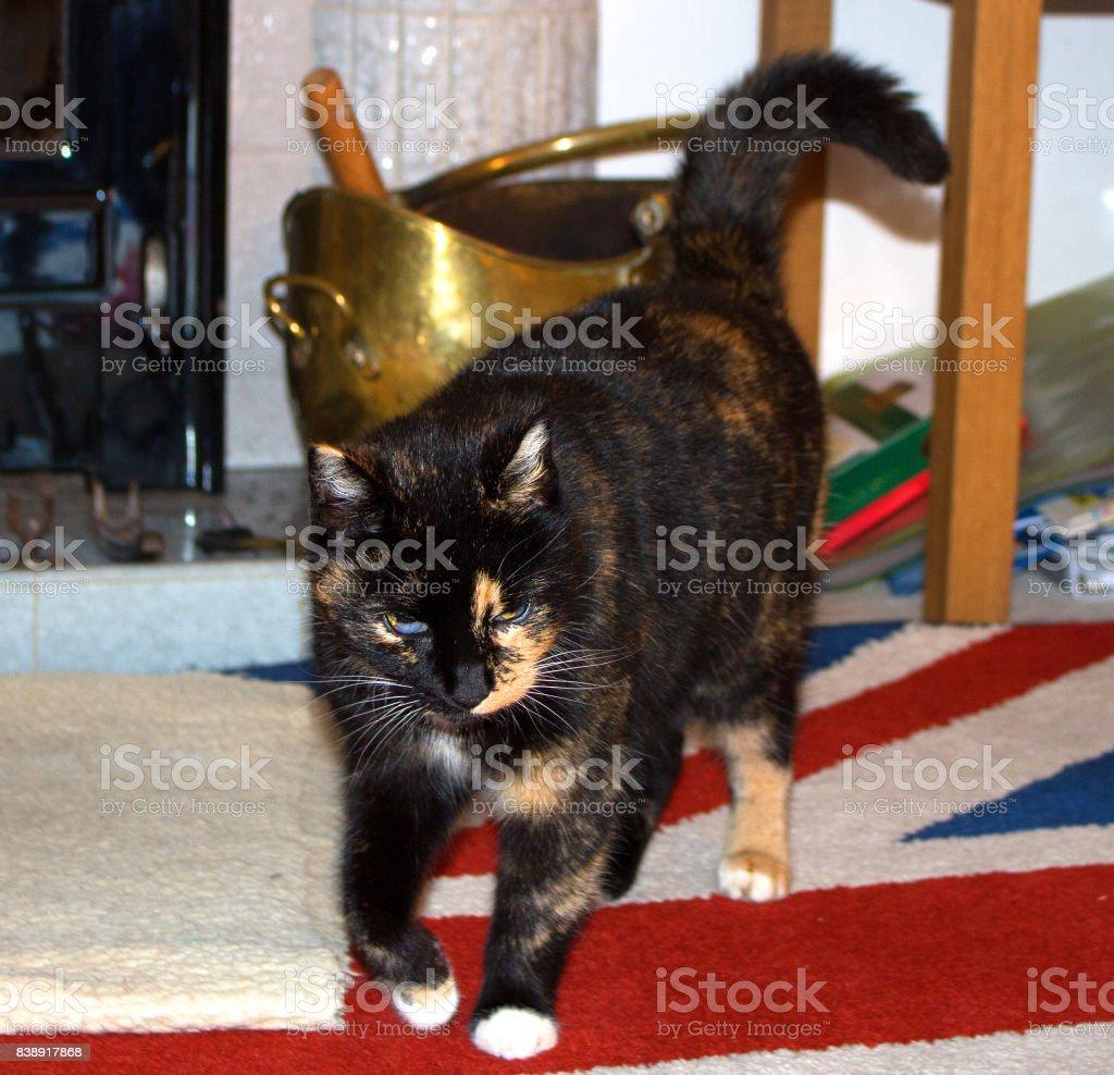 A tortoiseshell cat in a domestic setting. stock photo