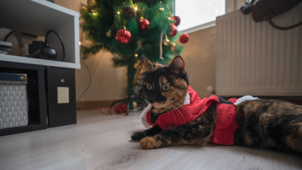 Tortoiseshell cat in santa claus suit picture id1125985733?b=1&k=6&m=1125985733&s=612x612&w=0&h=ltgmlz85ccys5o4u1q4ow7kiv7hfofdecwk9ogxh13o=