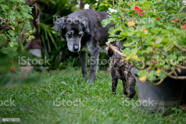 Tortoiseshell cat kitten and black dog friends picture id920713272?b=1&k=6&m=920713272&s=612x612&h=5e0dismsxartmxrqfrezndqtbo5zsm38i5mm31tn4ty=