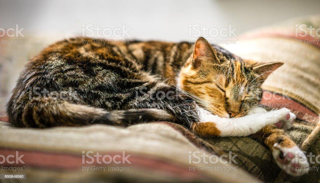 A tortoiseshell cat sleep soundly stock photo
