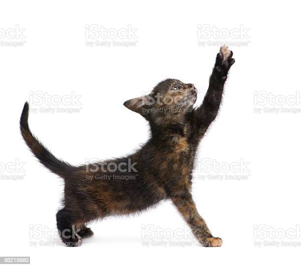 Tortoiseshell kitten picture id93215660?b=1&k=6&m=93215660&s=612x612&h=vreq2mh7ekqq2ntm rdku4ecqxqiuhfewd8 nfvuz0g=