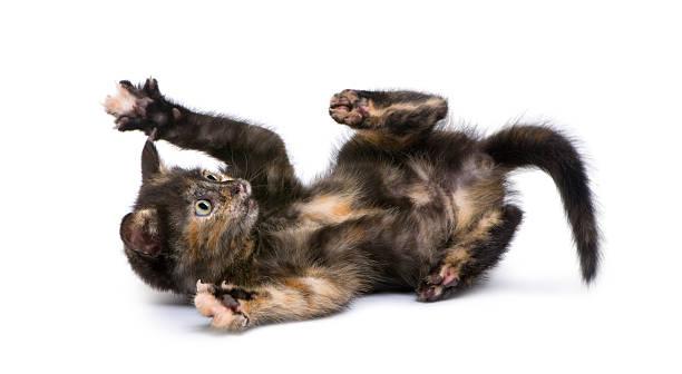 Tortoiseshell kitten (2 months)  tortoiseshell cat stock pictures, royalty-free photos & images