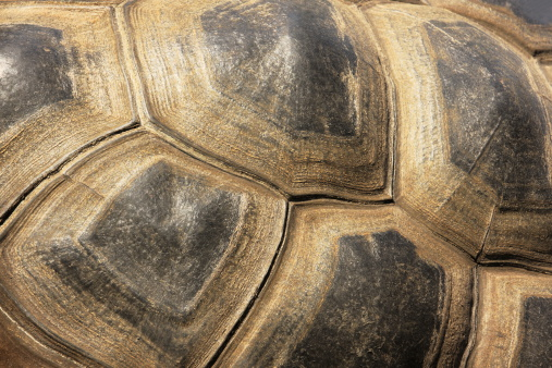 istock Tortoiseshell Turtle Exoskeleton 174625092