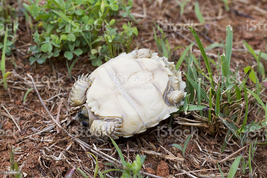 Tortoise/Turtle Laying on Back - Helpless stock photo