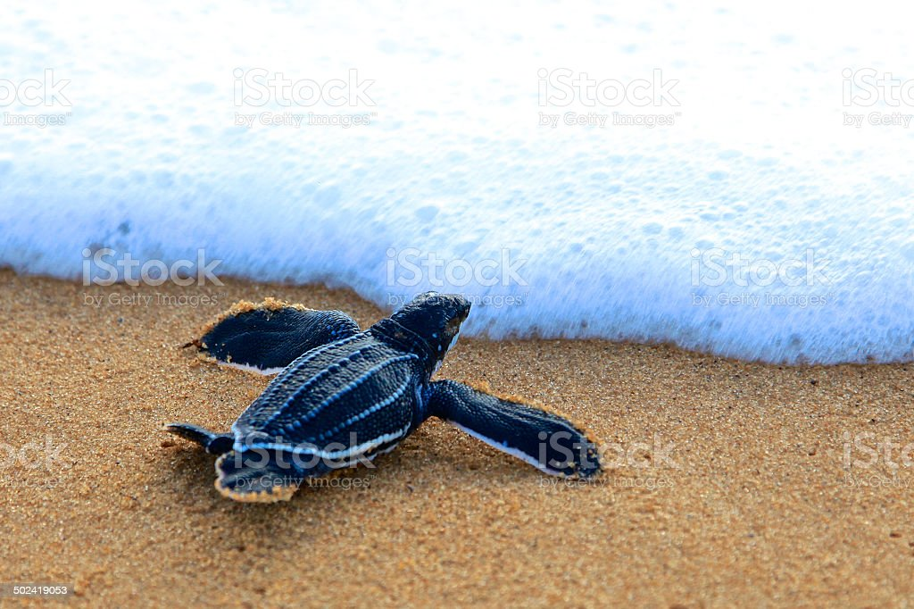 Tartaruga Liuto - Foto stock royalty-free di Ambientazione esterna