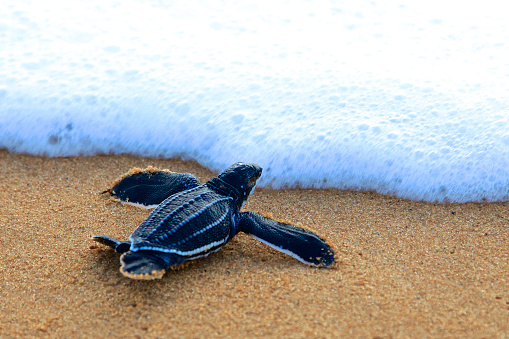 Tartaruga Liuto - Fotografie stock e altre immagini di Ambientazione esterna