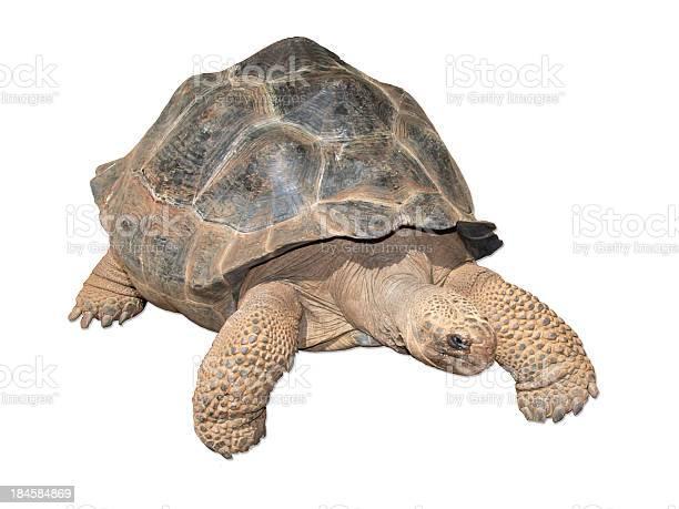 Tortuga gigante de las galpagos picture id184584869?b=1&k=6&m=184584869&s=612x612&h=a2pt22qcpzfavgpeod0ht8n3car lzgy0x7mtj5 a i=