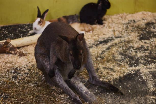 gequältes kleines känguru in einem kontaktzoo. tier-verhöhnung. tierschutz. - zebra nägel stock-fotos und bilder