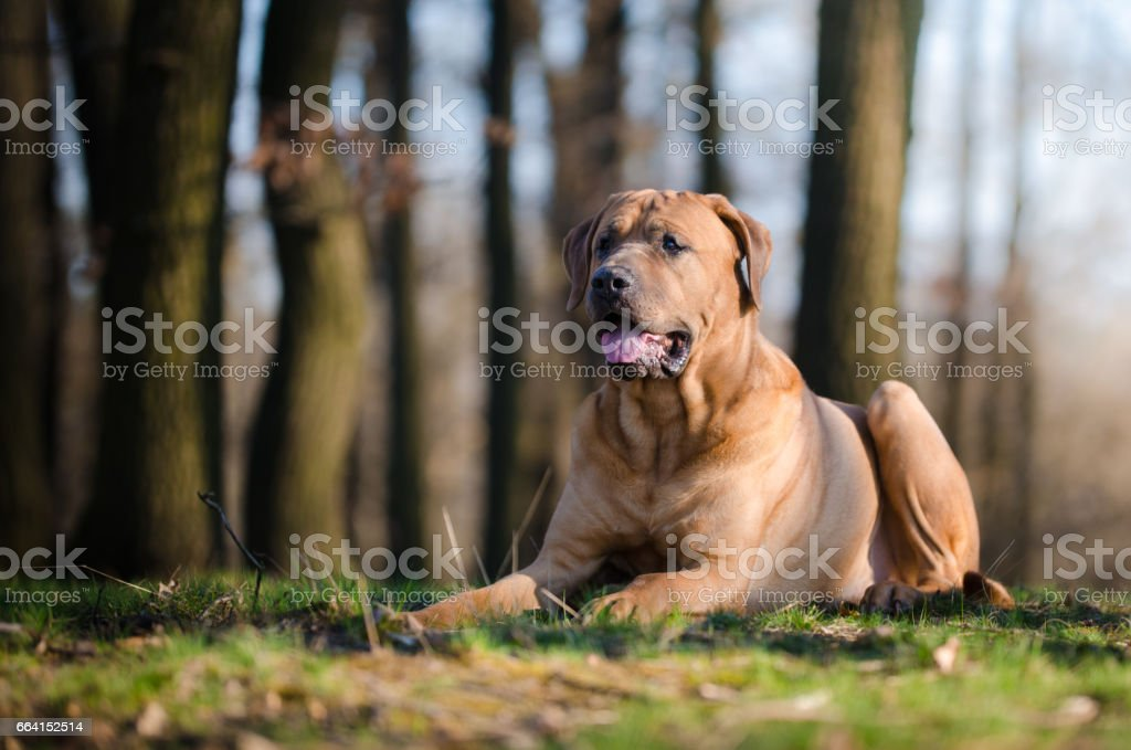 Tosa inu dog foto stock royalty-free