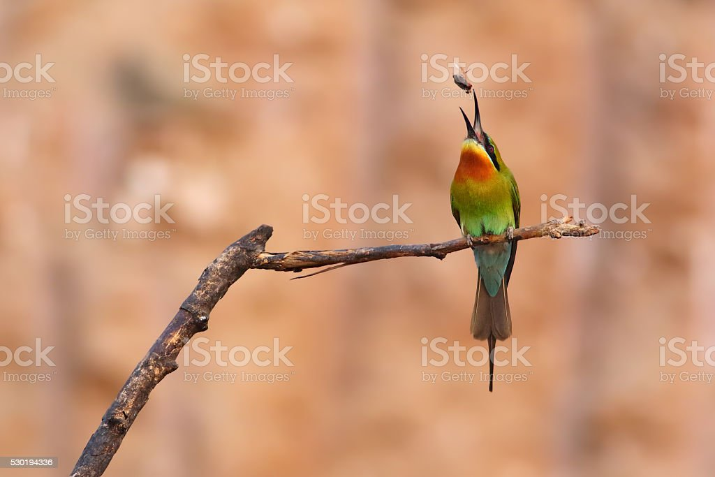 blue tailed bee eater tossing the bee in the air.