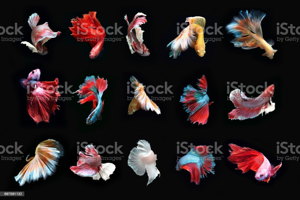 Total beautiful Fighting fish. stock photo