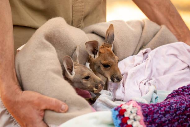 Totally cute Baby Red Kangaroo Joeys nestled in a warm blanket stock photo