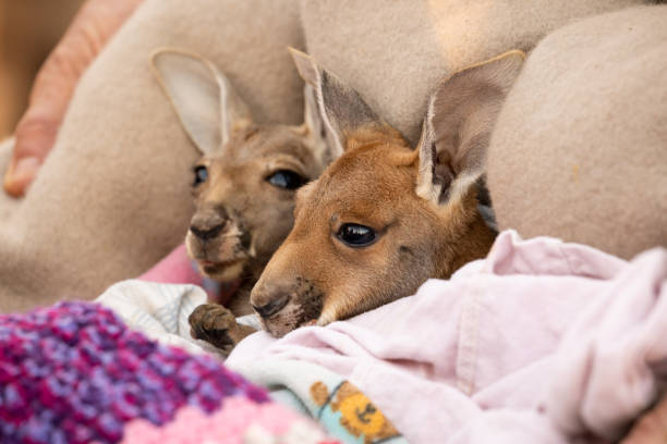 Totally cute Baby Red Kangaroo Joeys nestled in a warm blanket stock photo