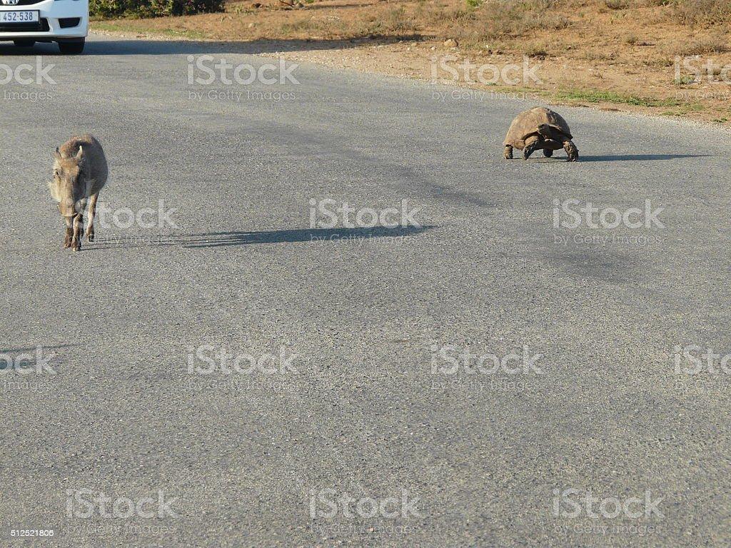 totel and warthog stock photo