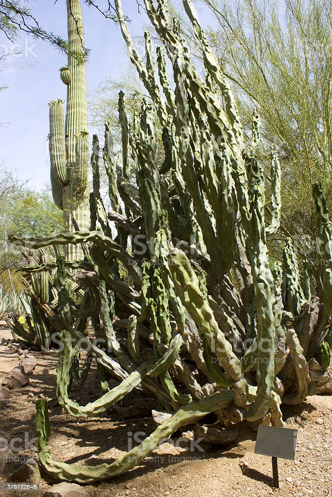 Totem Pole Cactus royalty-free stock photo