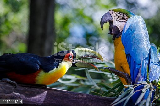 Toucan and parrot macaw tropical birds on nature background – Pantanal wetlands, Brazil