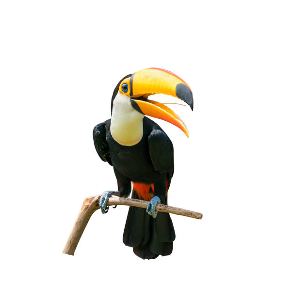 Toucan bird in a tree branch on white isolated background stock photo