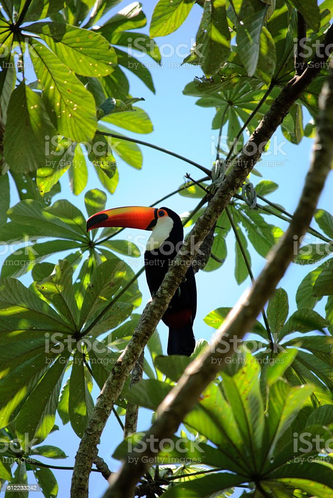 Toucan bird in all it's colorful beauty stock photo