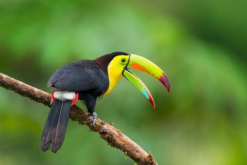 Keel-Billed Toucan in the wild. Beautiful multicoloured bird in Costa Rica. Ramphastos sulfuratus.