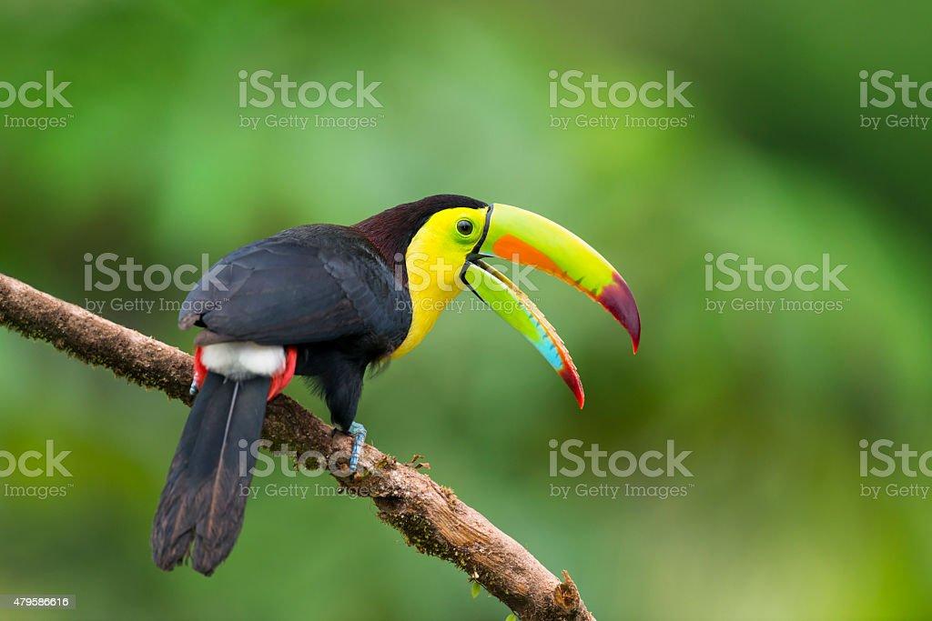 Toucan, pájaro en Costa Rica, ramphastos sulfuratus. - foto de stock
