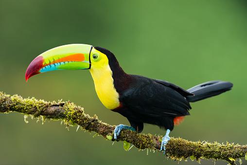 Keel-billed toucan in the wild. Beautiful bird in Costa Rica.