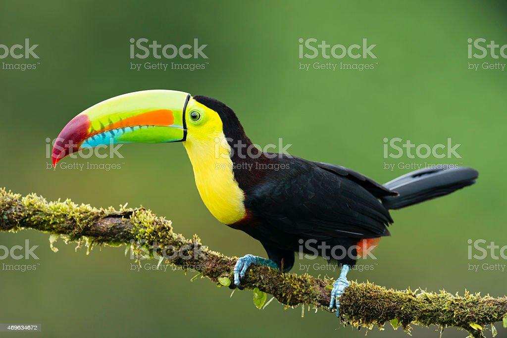 Oiseau Toucan, dans la nature sauvage, au Costa Rica - Photo