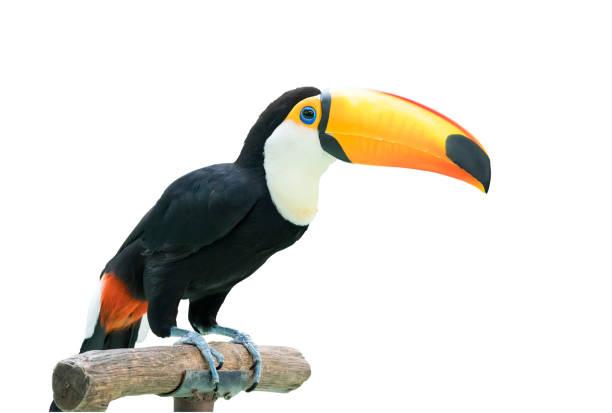 toucan bird on a branch stock photo