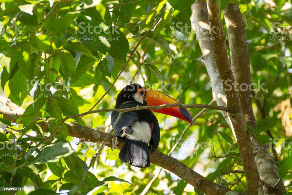 Pássaro Tucano sobre a natureza em Foz do Iguaçu, Brasil - foto de acervo
