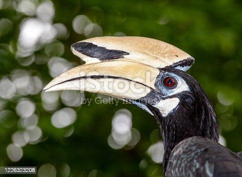 oriental pied hornbill toucan bird