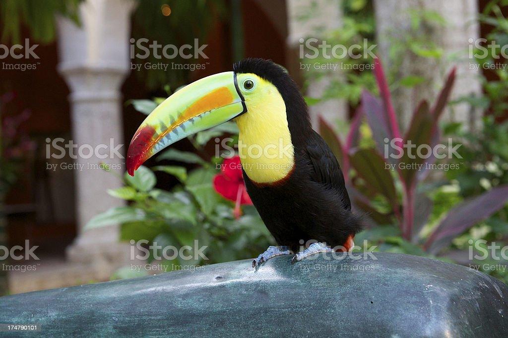 Toucan bird royalty-free stock photo