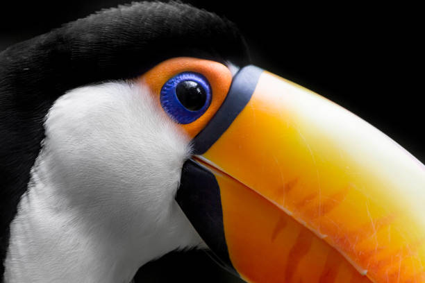 Toucan Close Up Toco Toucan Close Up -Ramphastos toco animal eye stock pictures, royalty-free photos & images