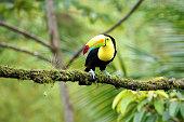 Toucan - Costa Rica